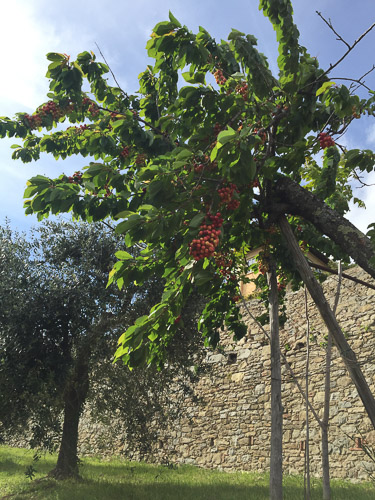 Severini School cherries ripening